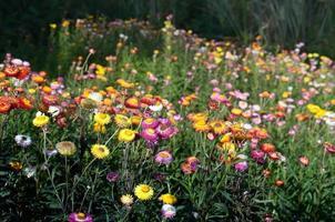 fält av blommor foto