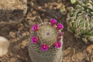 kaktus med röda blommor foto