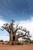 stort träd foto