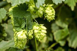 ekologisk humlegård för bryggning av öl foto