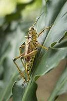 gräshoppa på grönt blad. foto