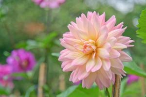 gul dahliablomma i en trädgård foto