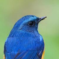 blå fågel, närbild, manlig himalayansk bluetail (tarsiger rufilatus) foto
