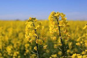 blommor av raps foto