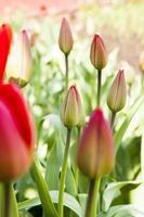 röda tulpaner. vår foto