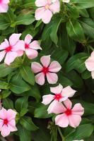 rosa orkidéer i naturen i parken foto
