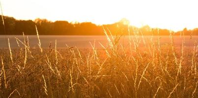 gyllene vete fält med sunrays panorama foto