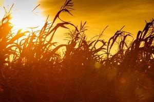 havrefält vid den gula solnedgången foto
