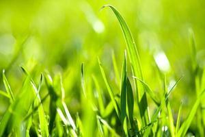 färskt grönt gräs