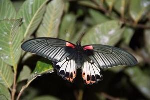 svart buttefly foto