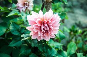 krysantemum i en trädgård foto