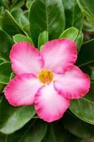 azalea blommor foto
