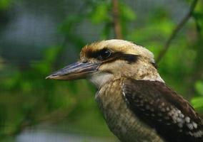 fåglar skrattar kookaburra foto