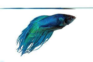 färgglada betta fisk närbild. foto