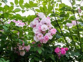 grupp rosa ros i trädgården foto