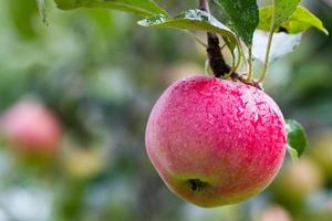 äpplen på en gren foto