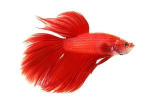 röd siamese slåssfisk foto