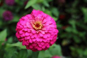 rosa zinnia elegans på nära håll foto