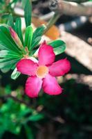 rosa av ökenrosblomma, växter med vackra färgglada blommor foto