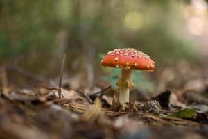flyga agariska svampar i skogen, amanita muscaria