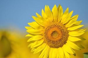 vackra solrosor i Toscana i Italien mot blå himmel