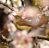 vacker fågelphylloscopus tittar uppmärksamt på gren av mandelträdet foto