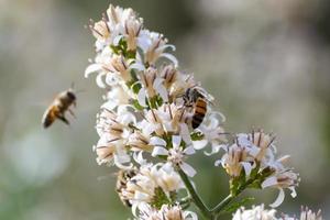 två bin som samlar pollen och nektar foto