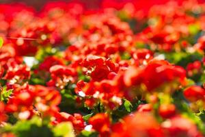 röda blommande begonia växter på sommaren foto
