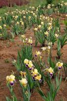 vilda irisblommor