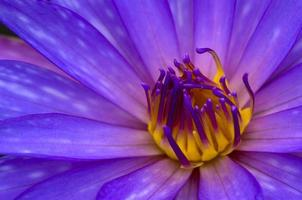 lila lotus