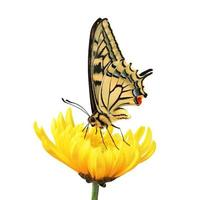 vacker gul och svart fjäril på en gul blomma foto