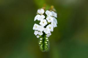 vita tropiska blommor
