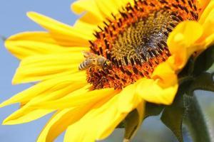 närbild av bi på solros foto