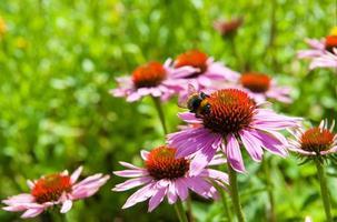 echinacea eller koneflowers foto