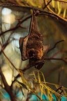rodrigues fruktfladderträ, pteropus rodricensis foto