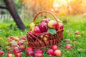 korg med röda äpplen på gräset foto