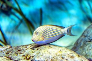blå fisk foto