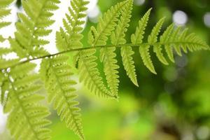 vackra blad av ormbunke är närbild bakgrund foto