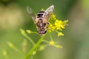 diptera syrphidae insekter foto