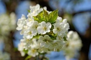 blomma körsbärsträd foto