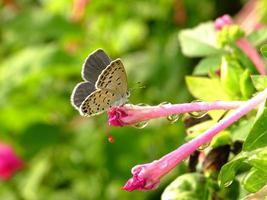 liten fjäril med morgonens härlighet foto