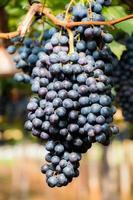 lila druvor med gröna blad på vinrankan. färska frukter