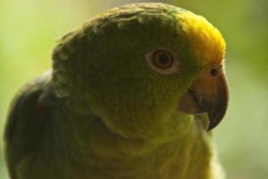 grön papegoja i djungeln foto
