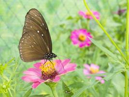 fjäril på rosa zinnia blomma foto