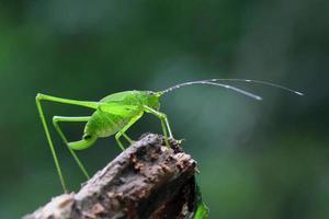 gräshoppa sittande foto