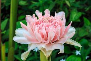 fackla ingefära blomma foto