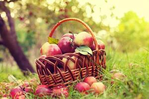 korg med äpplen på gräset i fruktträdgården foto