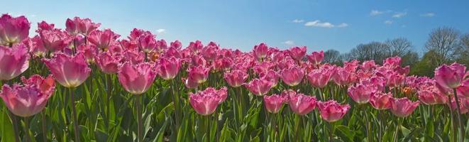 tulpaner i ett fält på våren