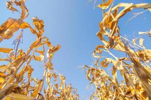 skörda färdig majsfält, låg vinkel