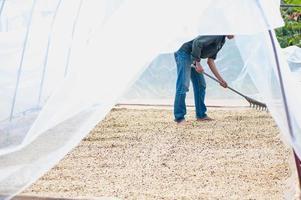 process för att torka kaffebönor i rena rum